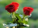 Trandafiri De Gradina ...